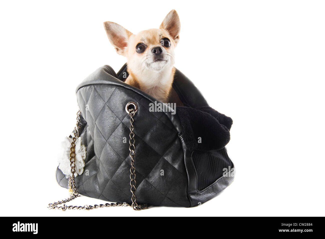 travel bag with chihuahua in front of white background - Stock Image
