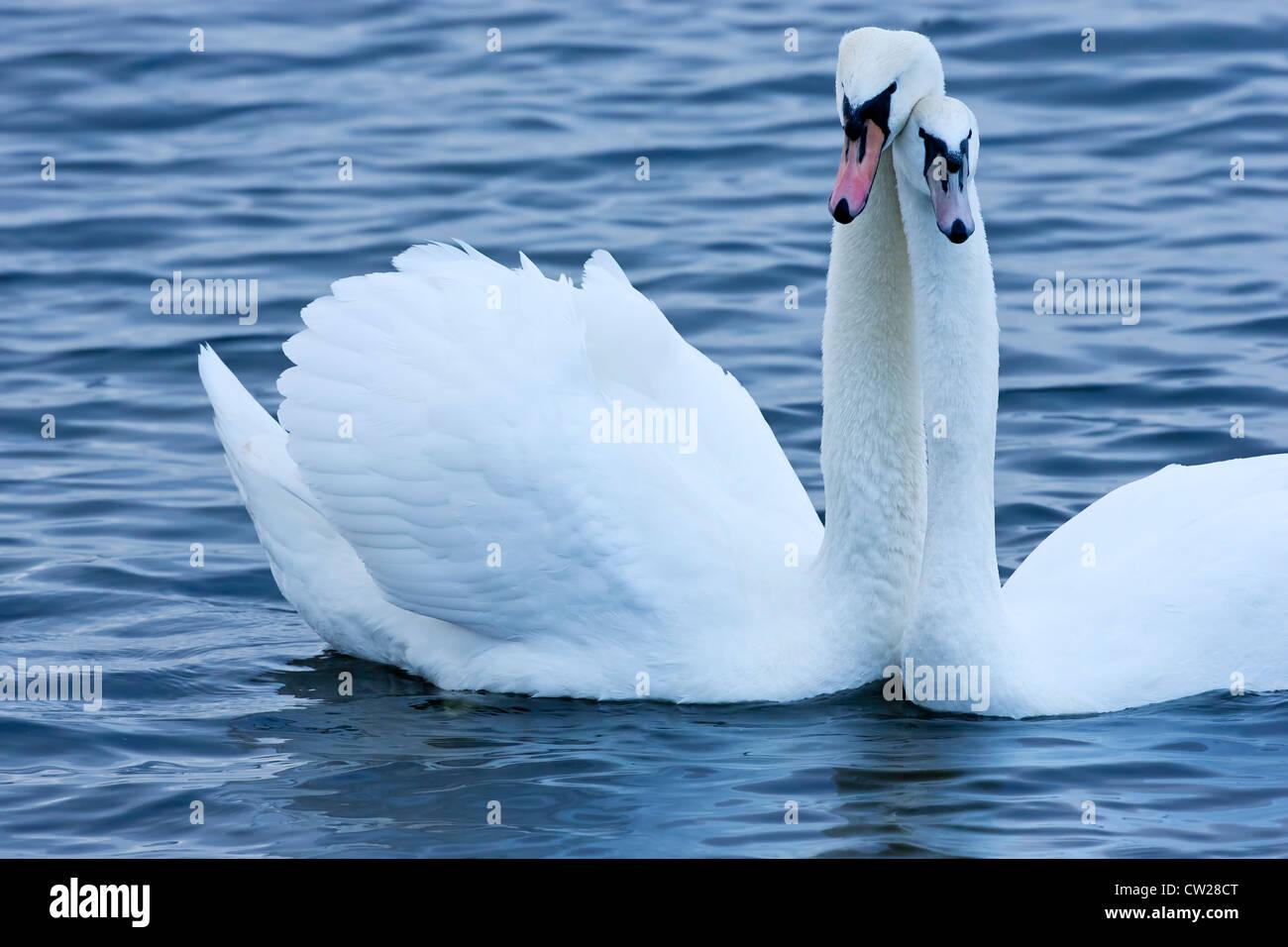 mute swan (Cygnus olor) pair of birds swimming on water ...