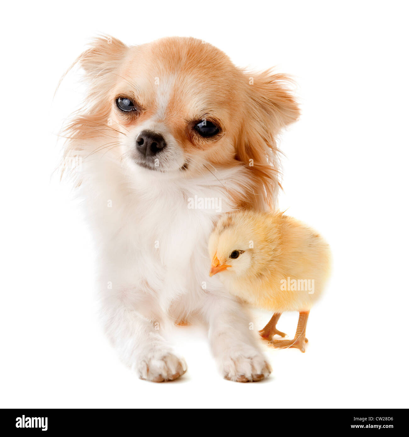 portrait of a cute purebred chihuahua with a chick in front of white background Stock Photo