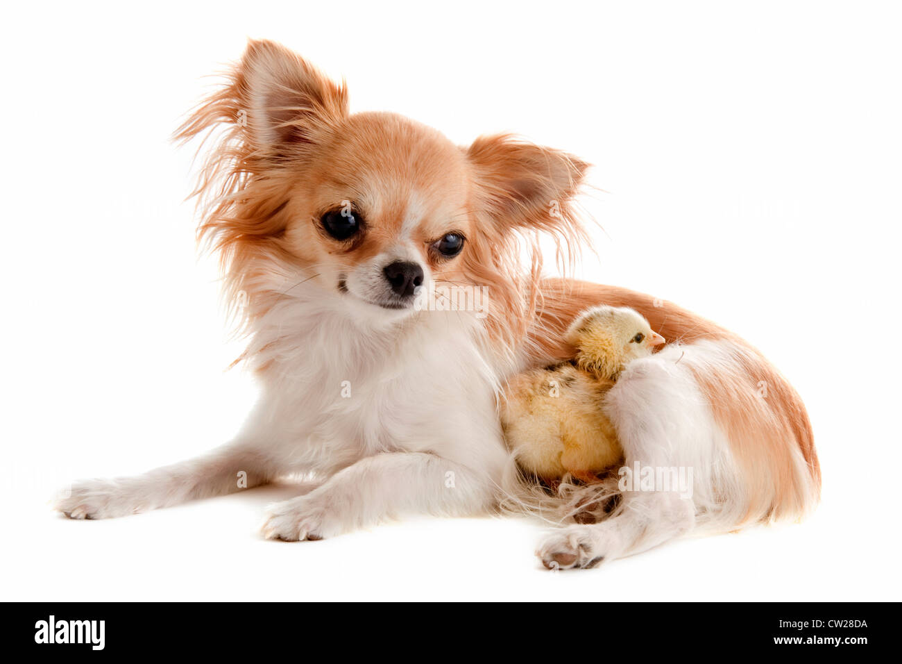 portrait of a cute purebred chihuahua with a chick in front of white background - Stock Image