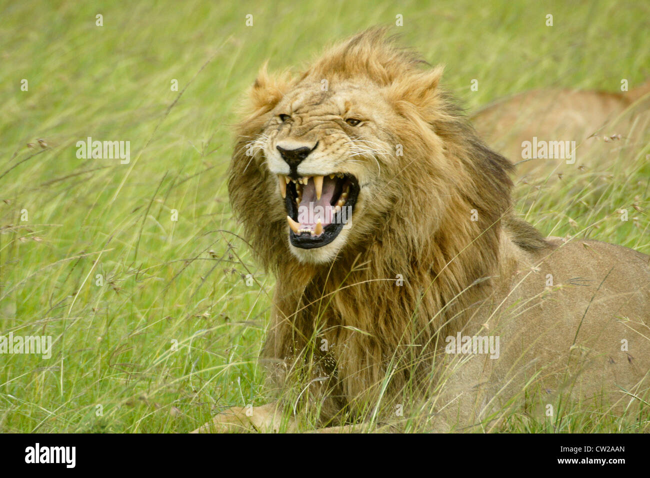 Male African lion making flehman face, Masai Mara, Kenya - Stock Image