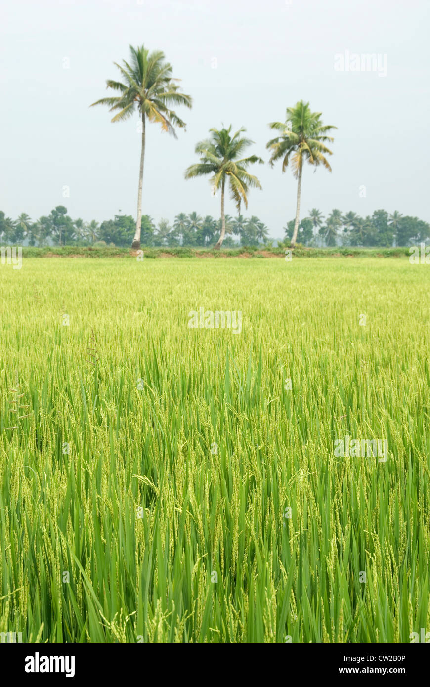 Paddy field in Kerala with coconut trees in the background - Alappuzha. - Stock Image