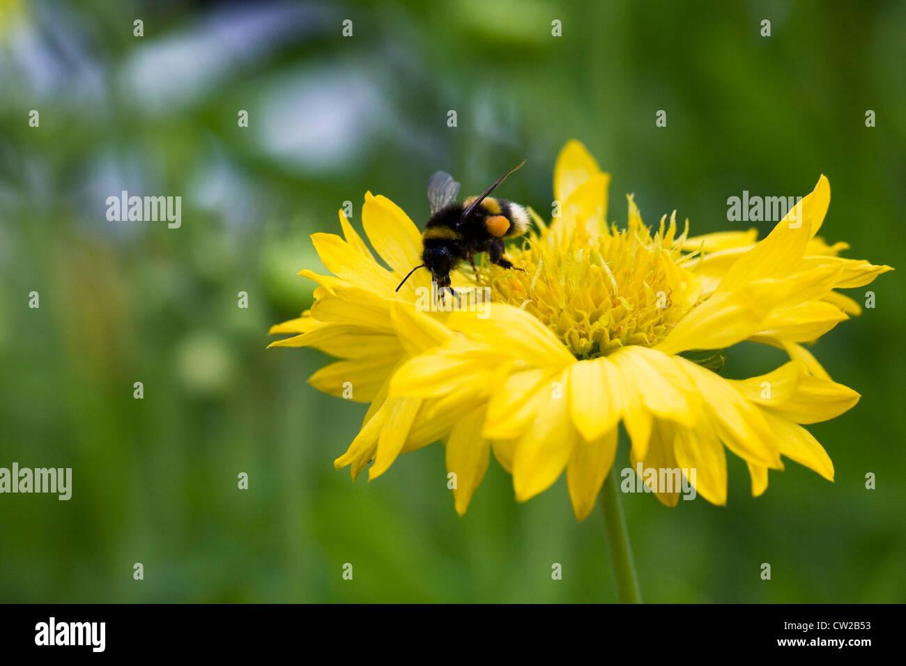 Bombus terrestris feeding on Coreopsis grandiflora. - Stock Image