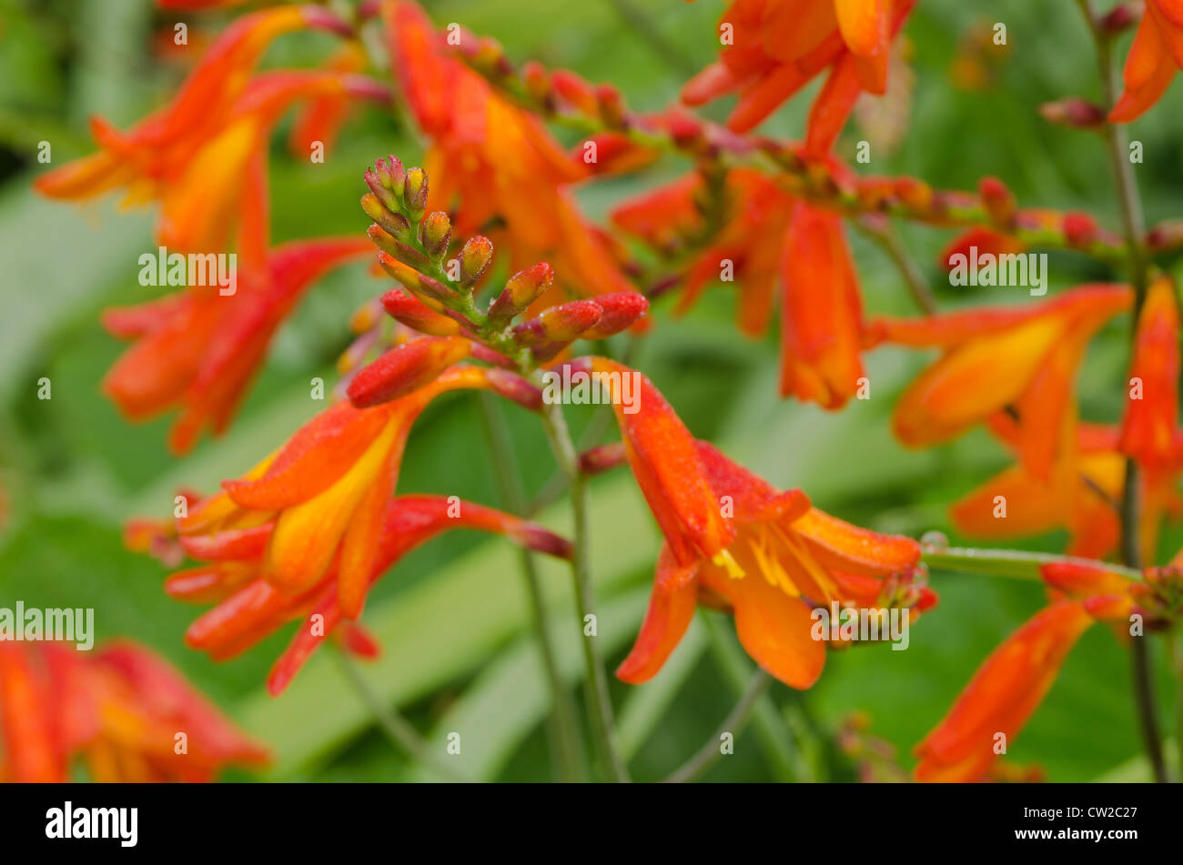 Crocosmia genus Iridaceae coppertips falling stars montbretia flowers against green  slender blade leaves Stock Photo