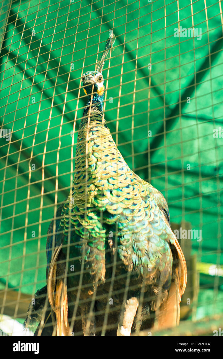 Green Peafowl or Javan Peafowl, Pavo muticus. Breeds from Burma east to Java. Photo is taken at zoo of Sumatra, - Stock Image