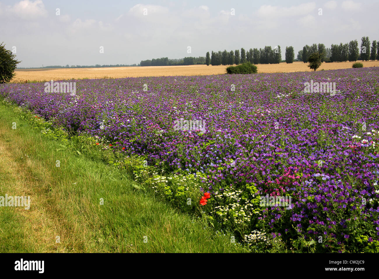 A Field of Viper's Bugloss Plants in Kent  A Crop Grown for