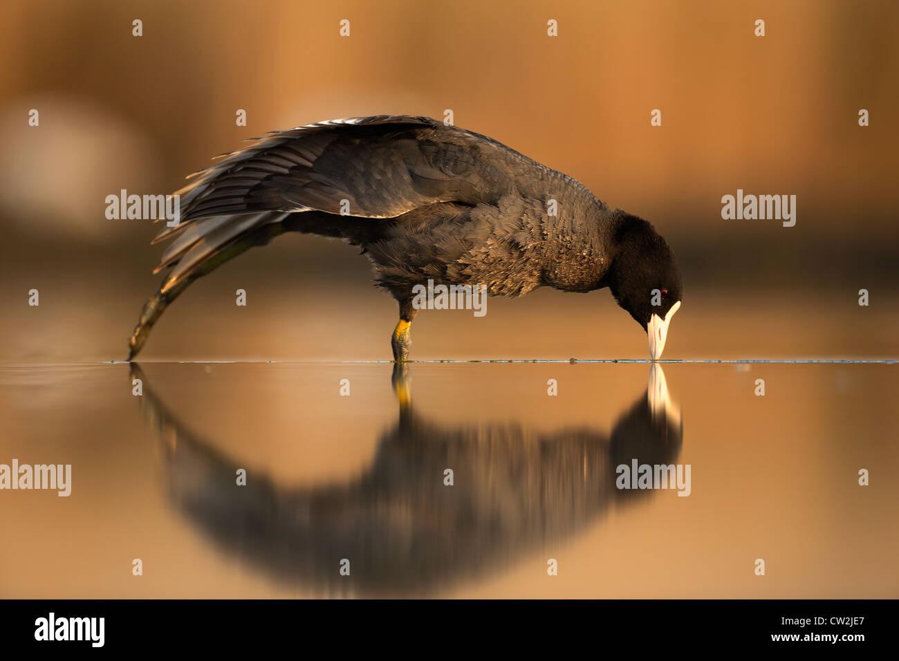 Eurasian Coot(fulica atra)Hungry - Stock Image