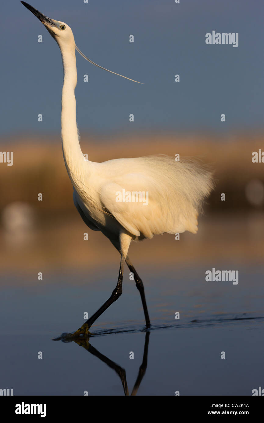 Little Egret(Egretta garzetta).Hungry - Stock Image