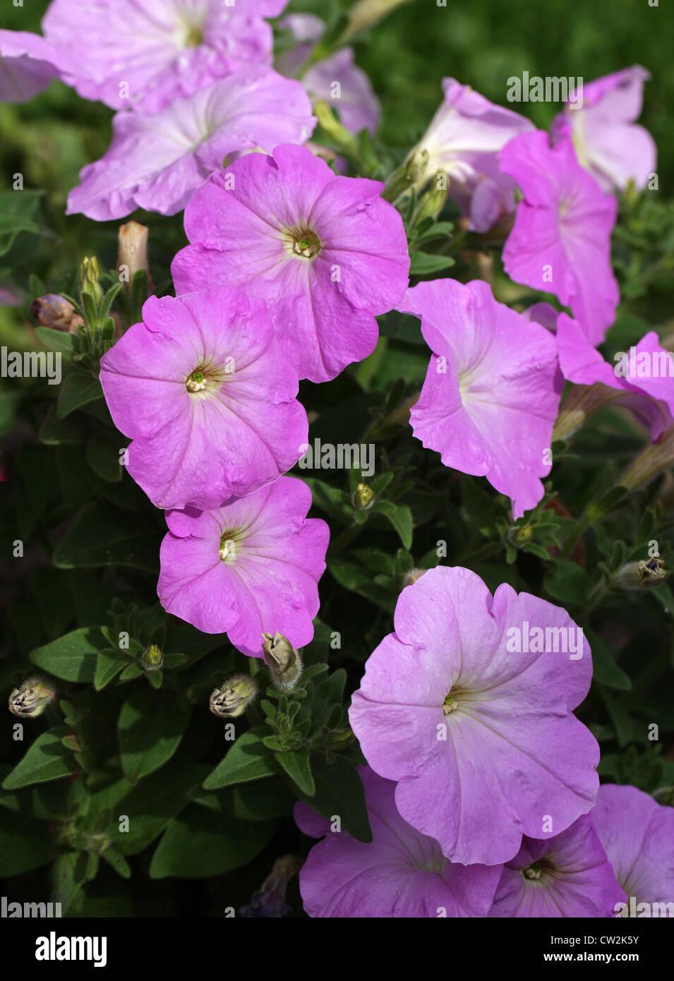 F1 Hybrid Petunias, Petunia × hybrida, Solanaceae. Garden ...