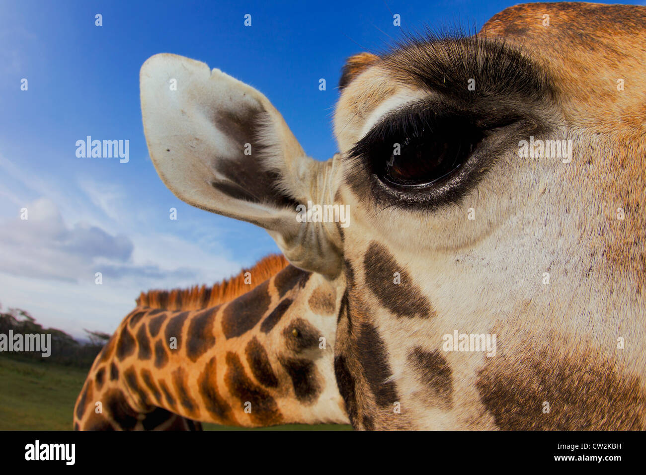 Close-up of Rothschild Giraffe (Giraffa camelopardalis rothschildi) eye. - Stock Image