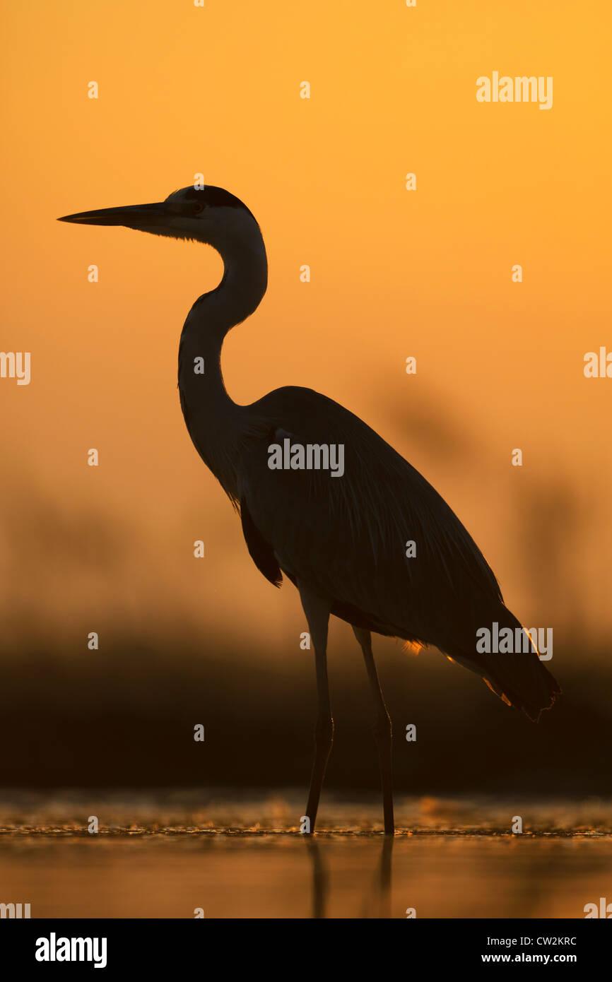Silhouette of Grey Heron(Ardea cinerea) at sunrise.Hungry - Stock Image