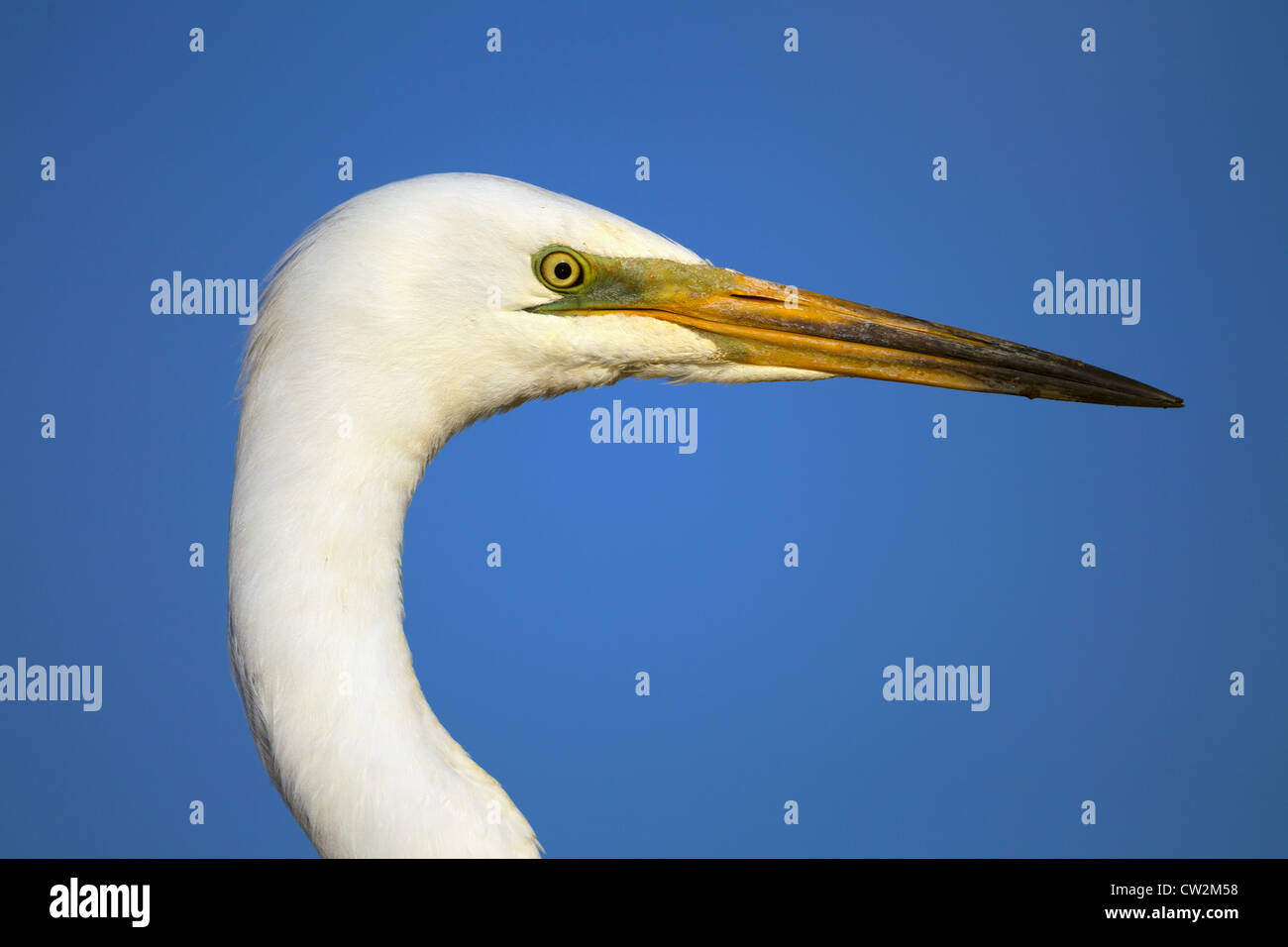 Great egret(Ardea alba)Hungry - Stock Image