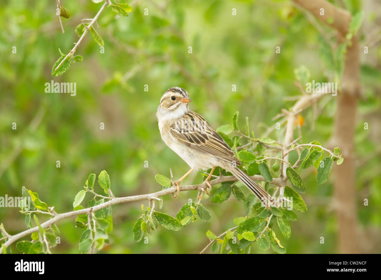 Clay-colored Sparrow Spizella pallida South Texas, USA BI023465 - Stock Image