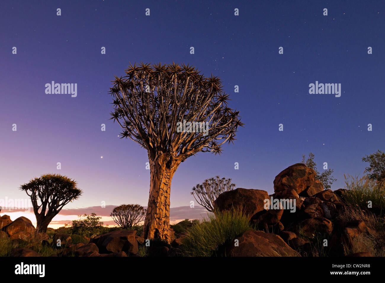 Quiver tree at sunset(Aloe dichotoma).Namibia - Stock Image