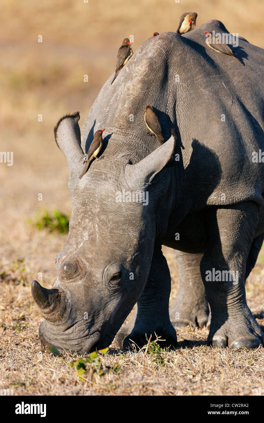 Red-billed oxpecker (Buphagus erythrorhynchus) on a white rhinoceros (Ceratotherium simum) Stock Photo