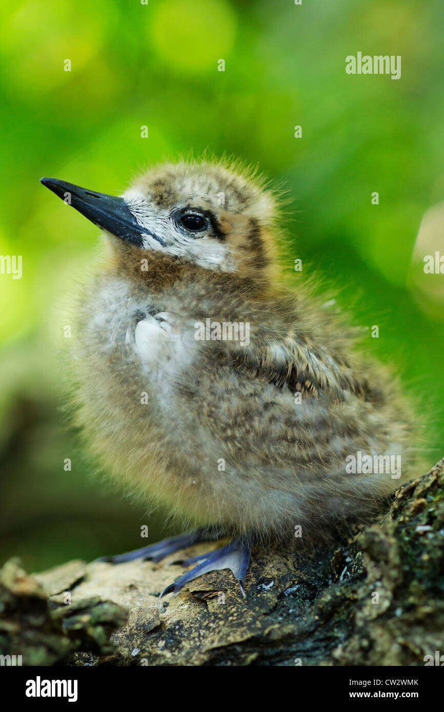 Young White fairy tern (Gygis alba). chick. Seychelles. - Stock Image