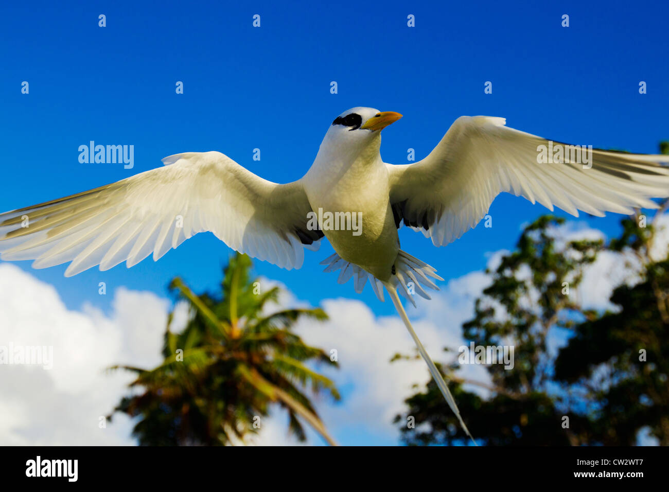 White-tailed tropicbird (Phaethon lepturus). Seychelles. Dist. Tropical islands and oceans worldwide. - Stock Image