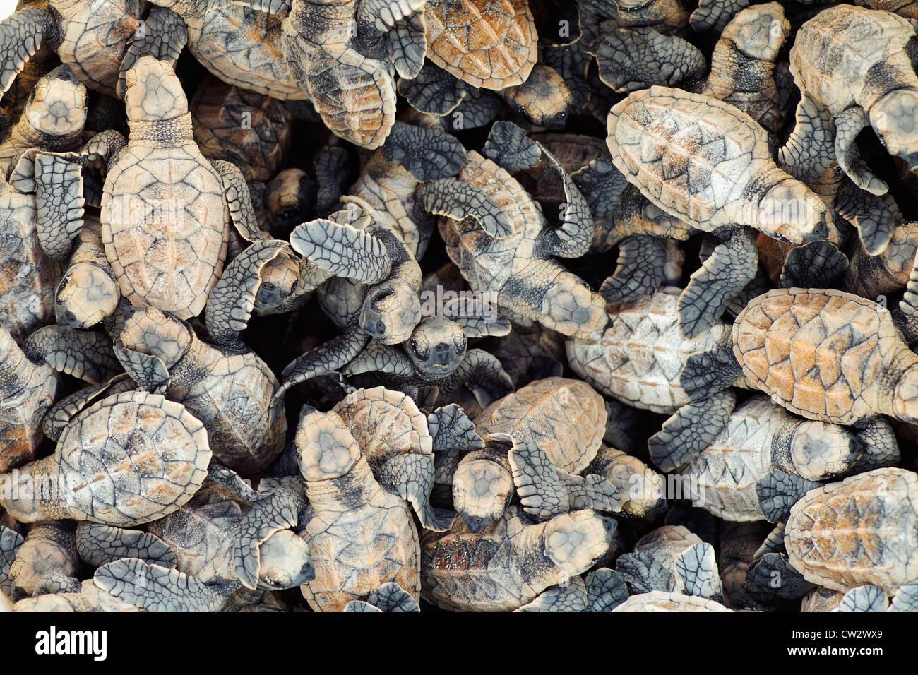Mass of Hawksbill turtle (Eretmochelys imbricata). Endangered species.Seychelles - Stock Image
