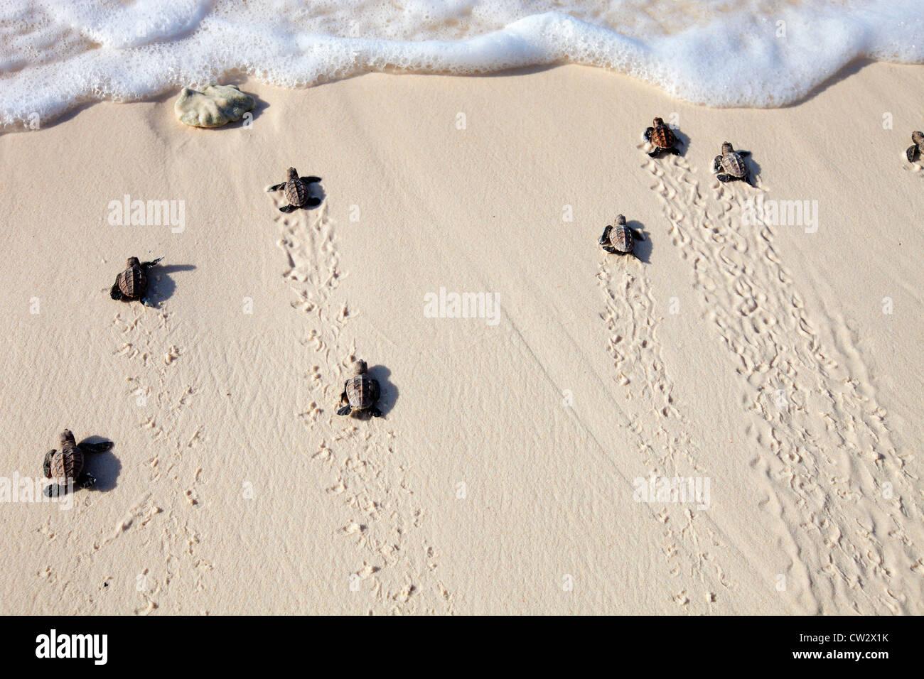 Hawksbill turtle (Eretmochelys imbricata) hatchlings heading into the ocean. Endangered species.Seychelles - Stock Image