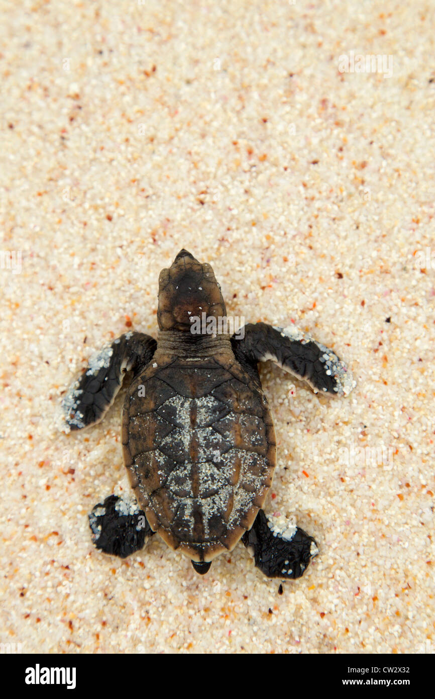 Hawksbill turtle (Eretmochelys imbricata). Endangered species.Seychelles - Stock Image