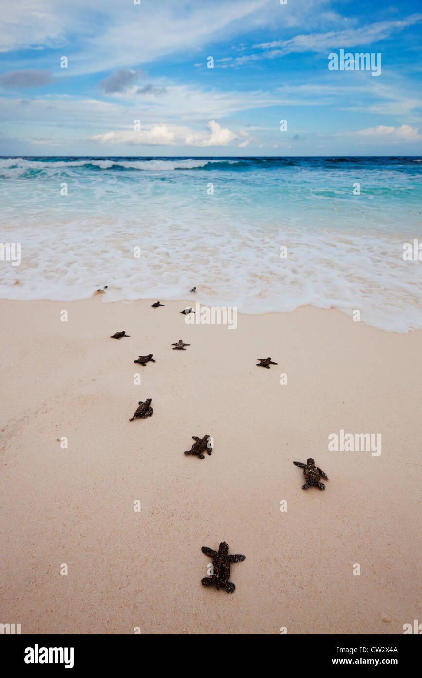 Hawksbill turtle (Eretmochelys imbricata) hatchlings heading for the ocean. Endangered species.Seychelles - Stock Image