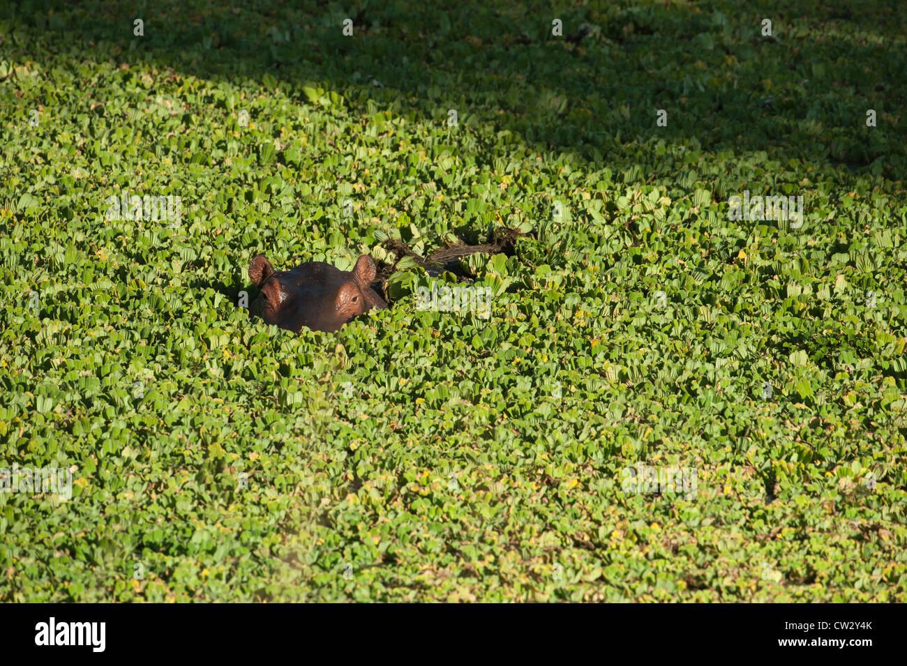 Hippos Africa Zambia - Stock Image