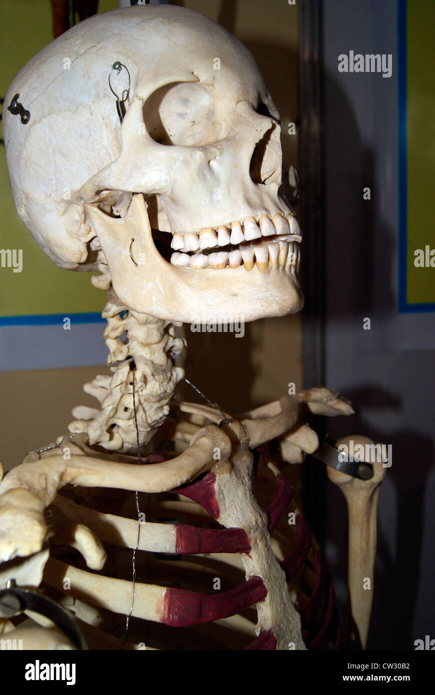Laughing Human Skeleton Closeup Side View Of Skull Face Showing Full