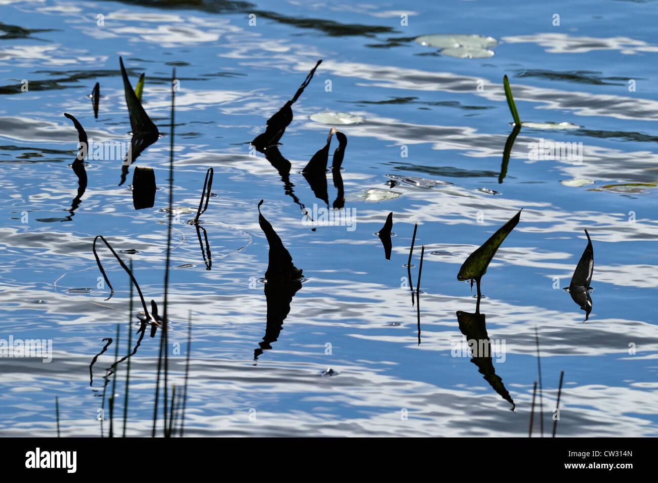 Pickerelweed (Pontederia cordata) leaf silhouettes in Elbow Lake shallows, Wanup, Ontario, Canada Stock Photo
