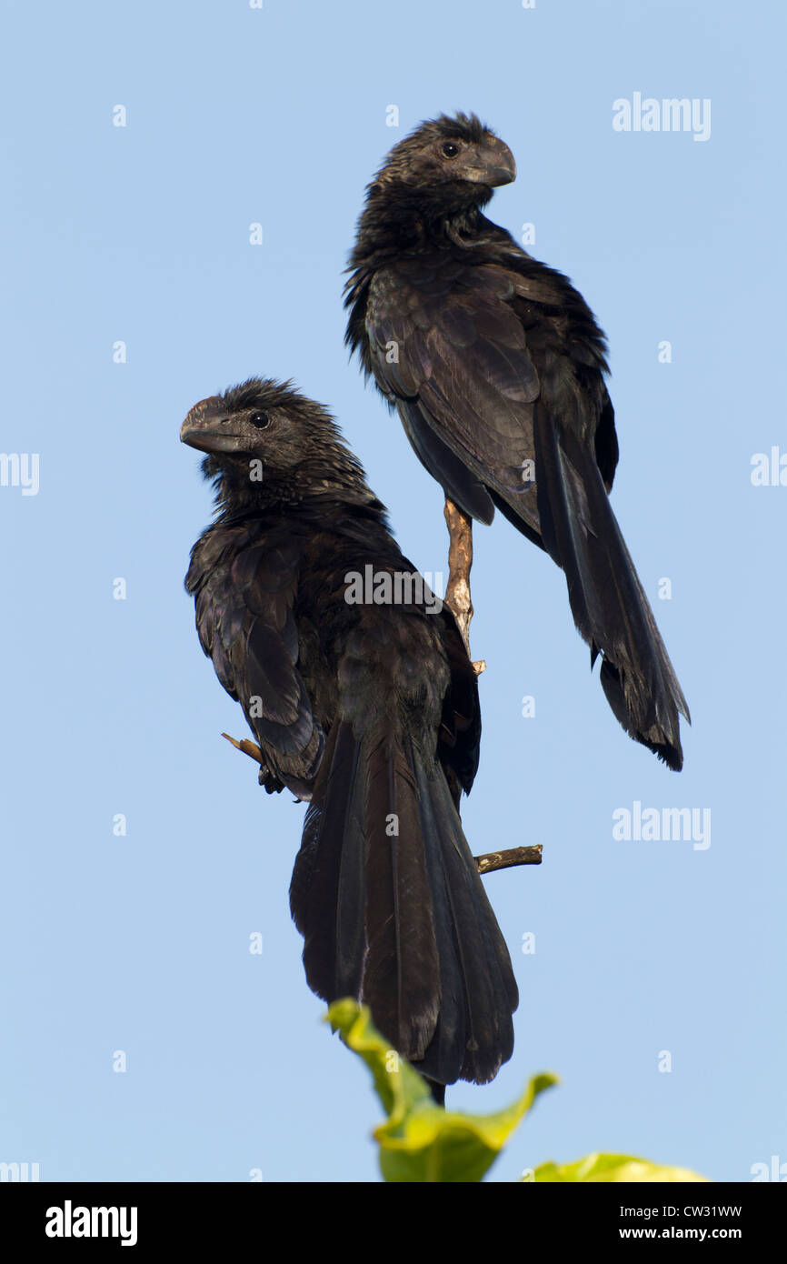 Smooth-billed Ani (Crotophaga ani) a pair sunning in a tree at sunrise - Stock Image