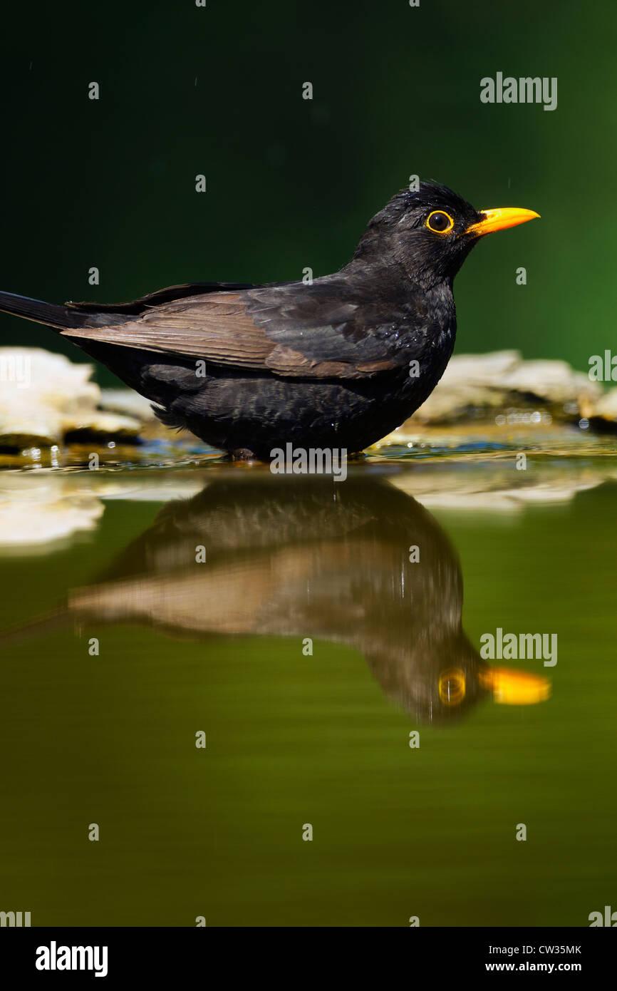 Common blackbird(Turdus merula)Hungry - Stock Image