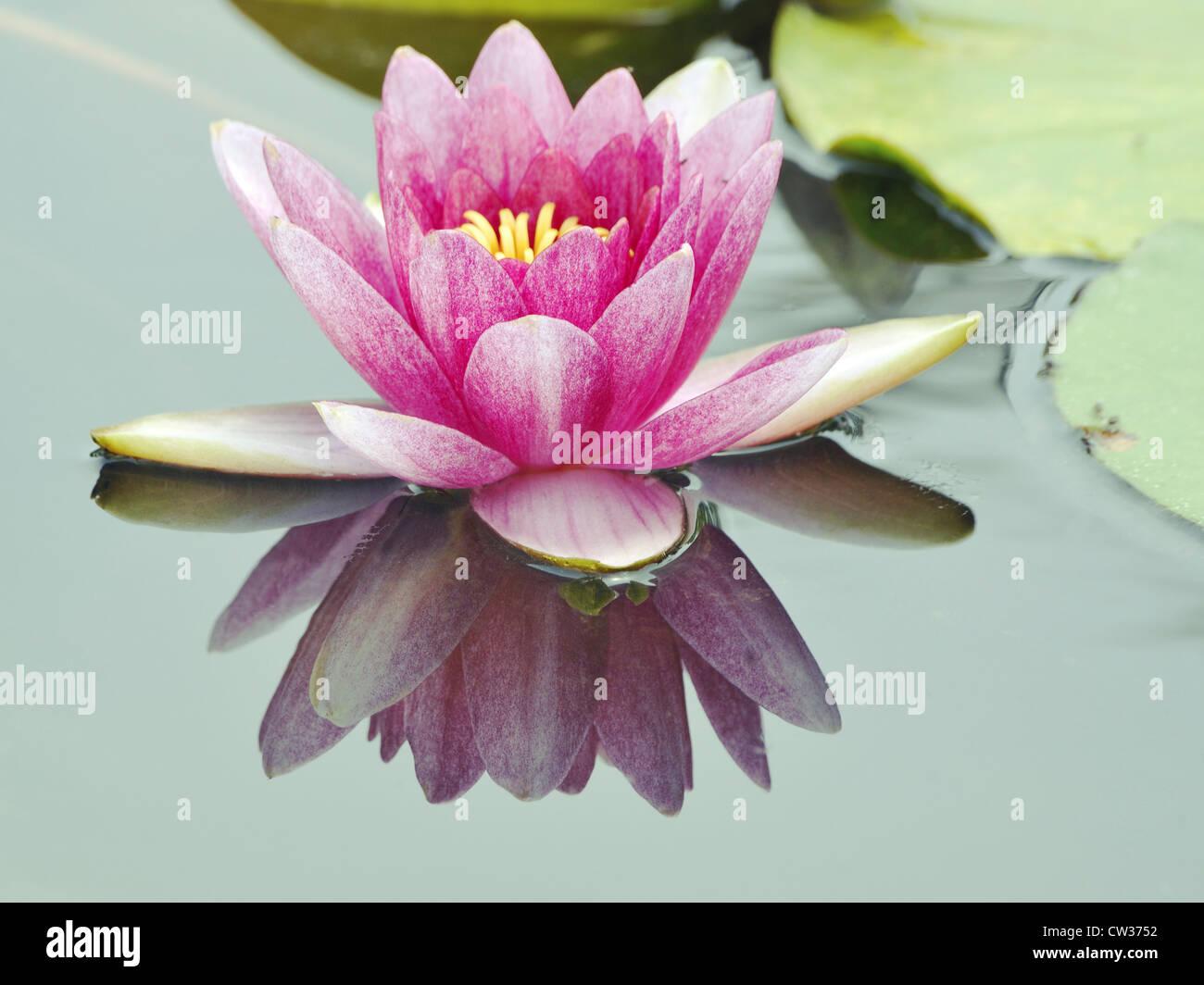 Lotus Flower Japan Stock Photos Lotus Flower Japan Stock Images