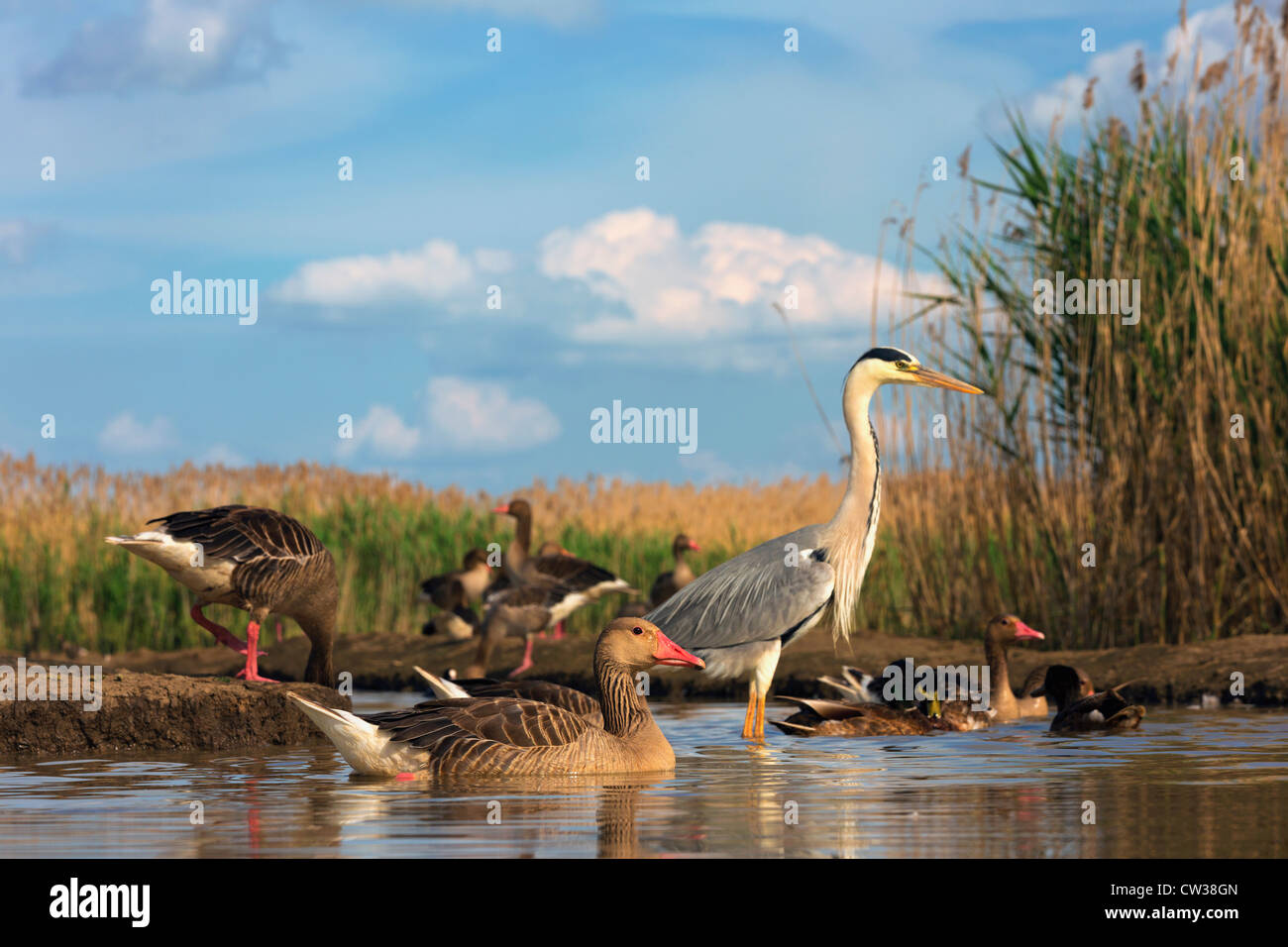 Greylag goose(Anser anser) and Grey Heron(Ardea cinerea) in background.Hungry - Stock Image