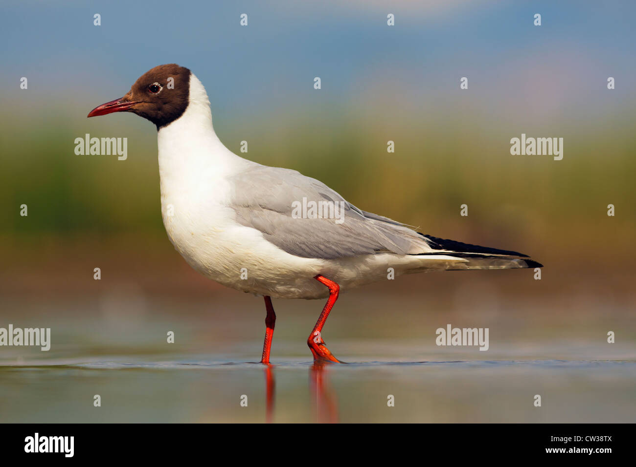 Black-headed gull(Chroicocephalus ridibundus)Hungry - Stock Image