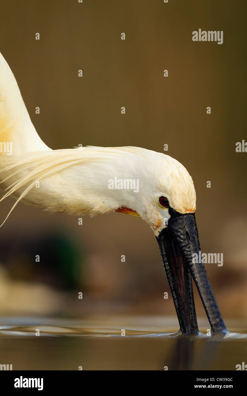 Eurasian spoonbill(Platalea leucorodia) foraging for food.Hungry - Stock Image