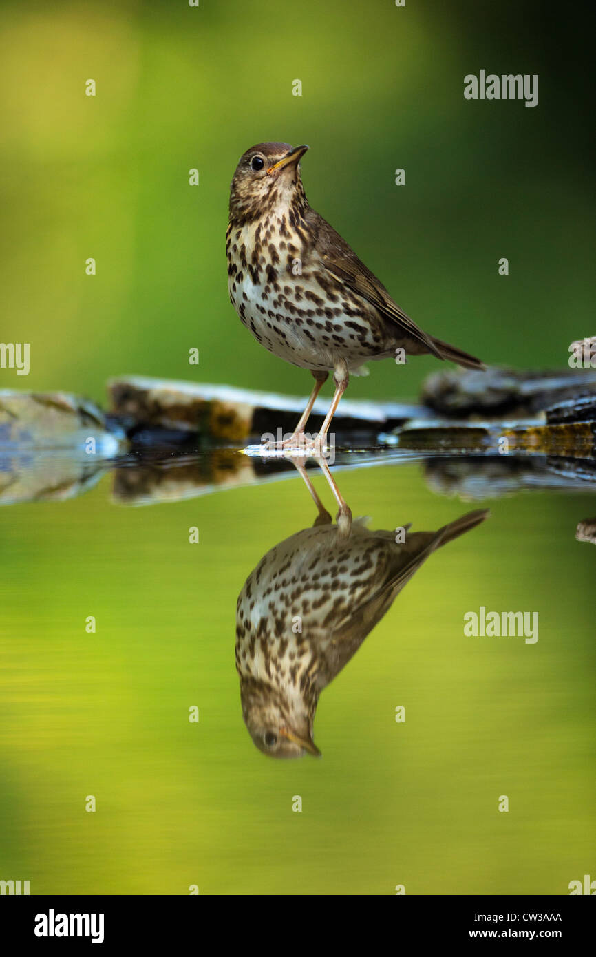 Song thrush(Turdus philomelos)Hungry - Stock Image