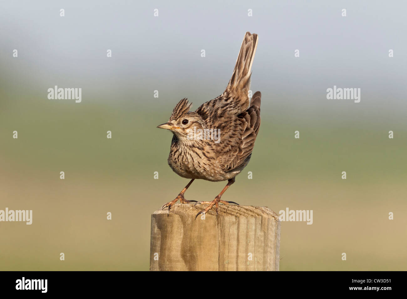 Skylark displaying - Stock Image