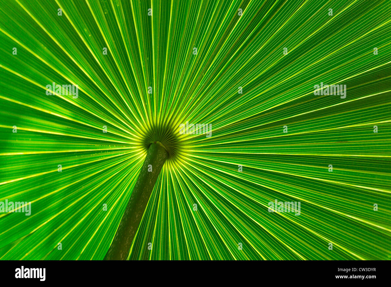 close-up of saw palmetto leaf - Stock Image