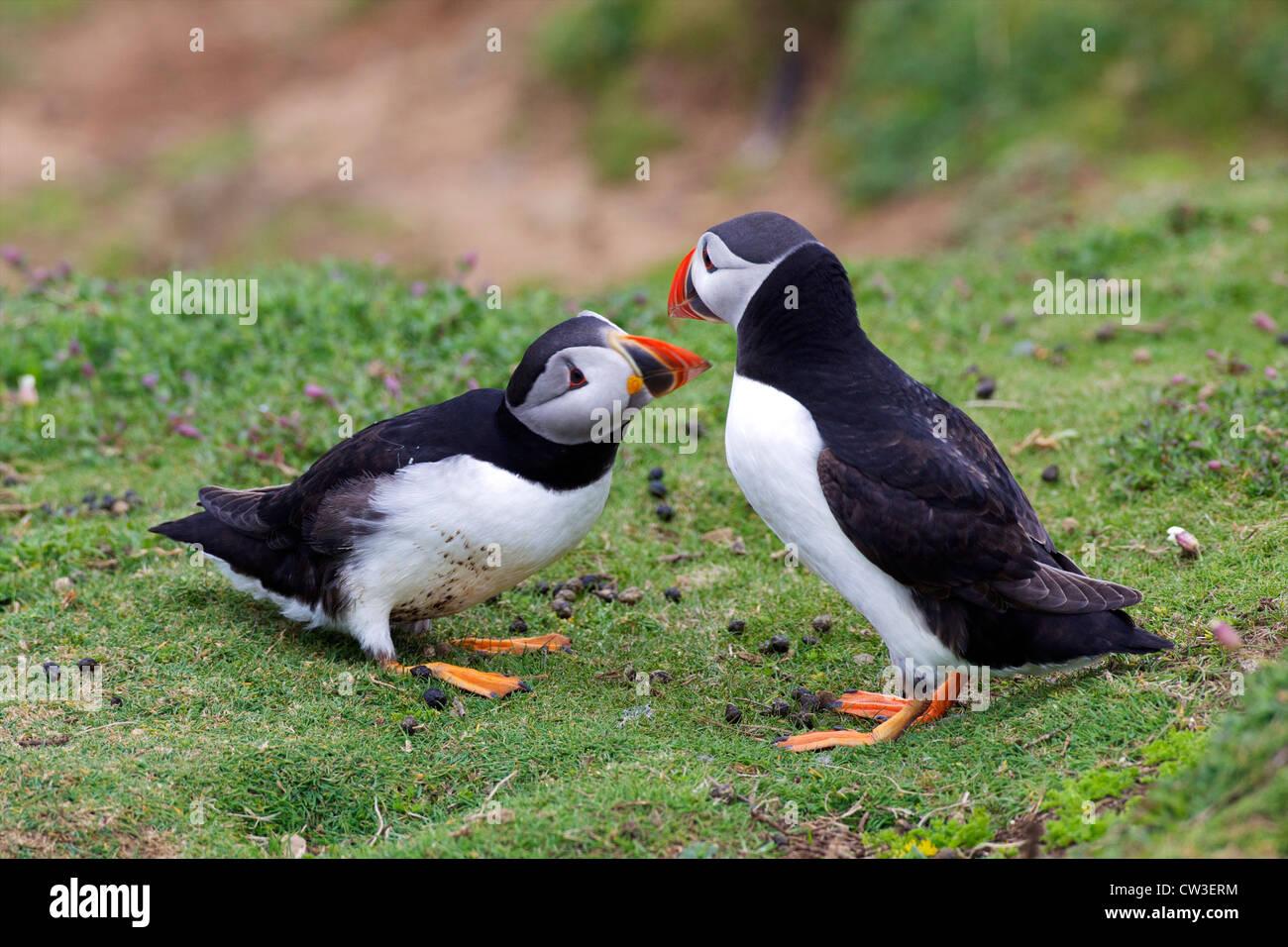 Courtship ritual of mating puffins on Skomer Island, Pembrokeshire National Park, Wales, Cymru, United Kingdom, - Stock Image