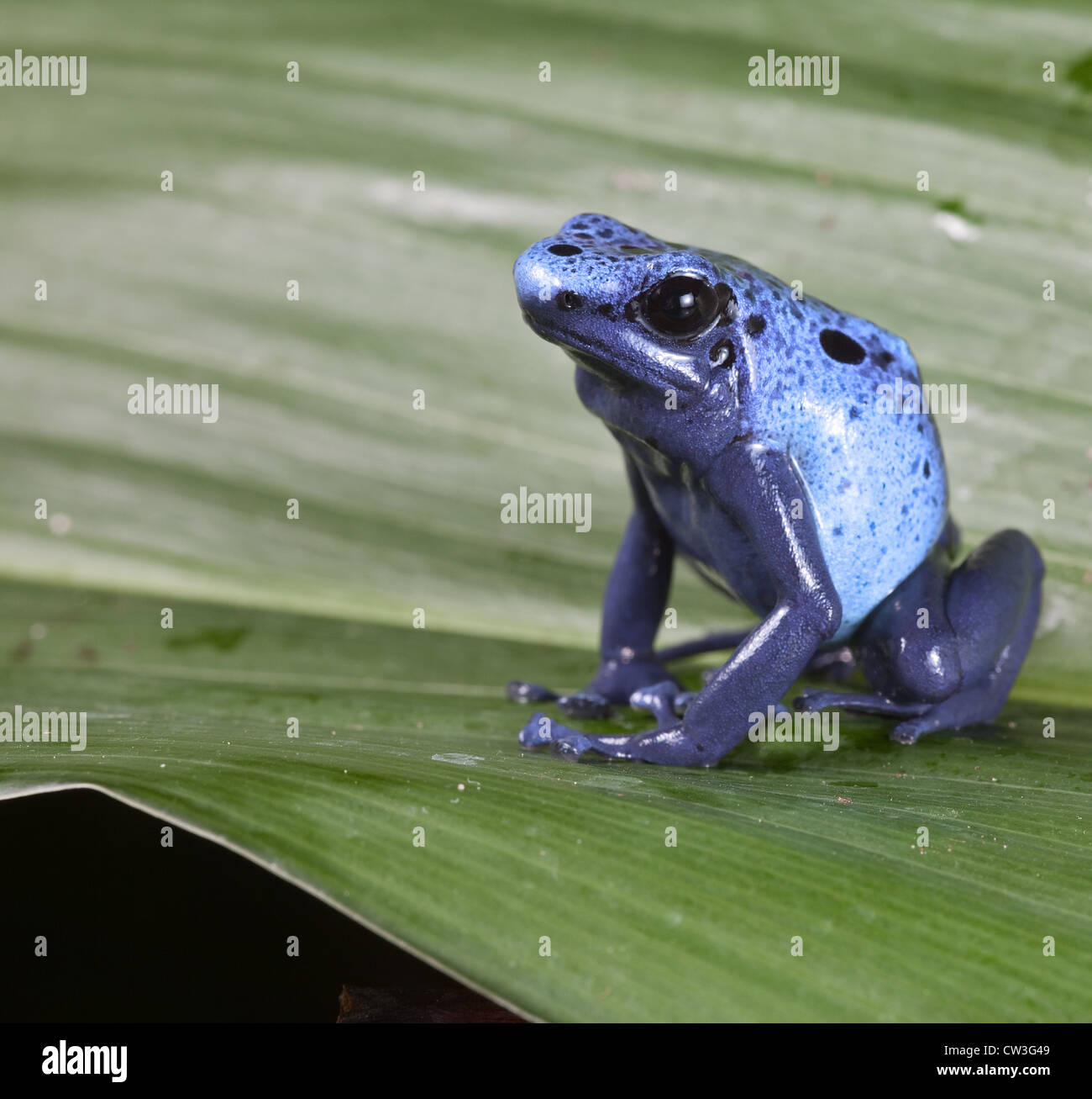 Blue poison dart frog dendrobates azureus,endangered amphibian species of tropical amazon rainforest Suriname - Stock Image