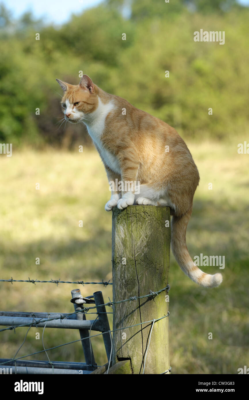 A ginger cat with a white 'bib' watching while sitting on a fence post - Stock Image