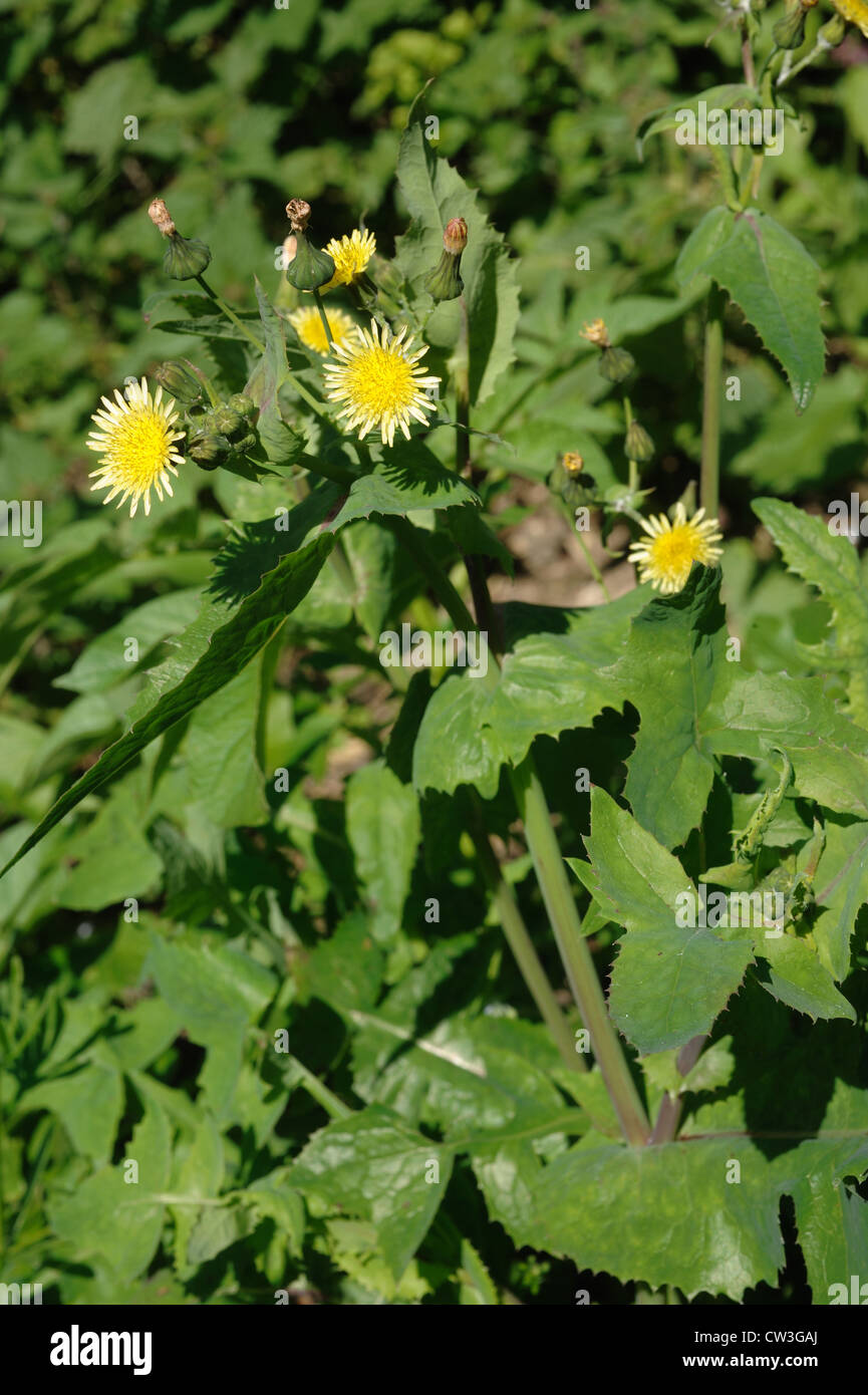 Smooth sow-thistle (Sonchus oleraceus) flowering plant - Stock Image