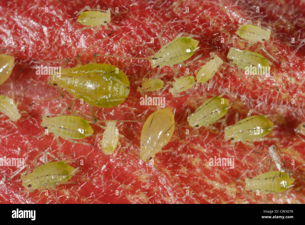 Mottled arum aphid (Aulacorthum circumflexum) adults on a red Hibiscus flower - Stock Image