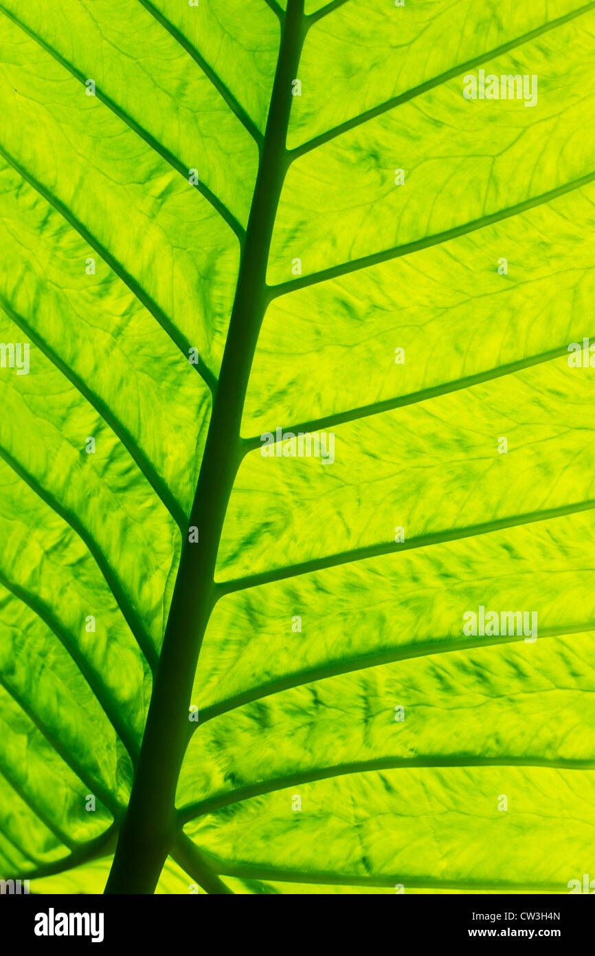 close-up of green leaf - Stock Image