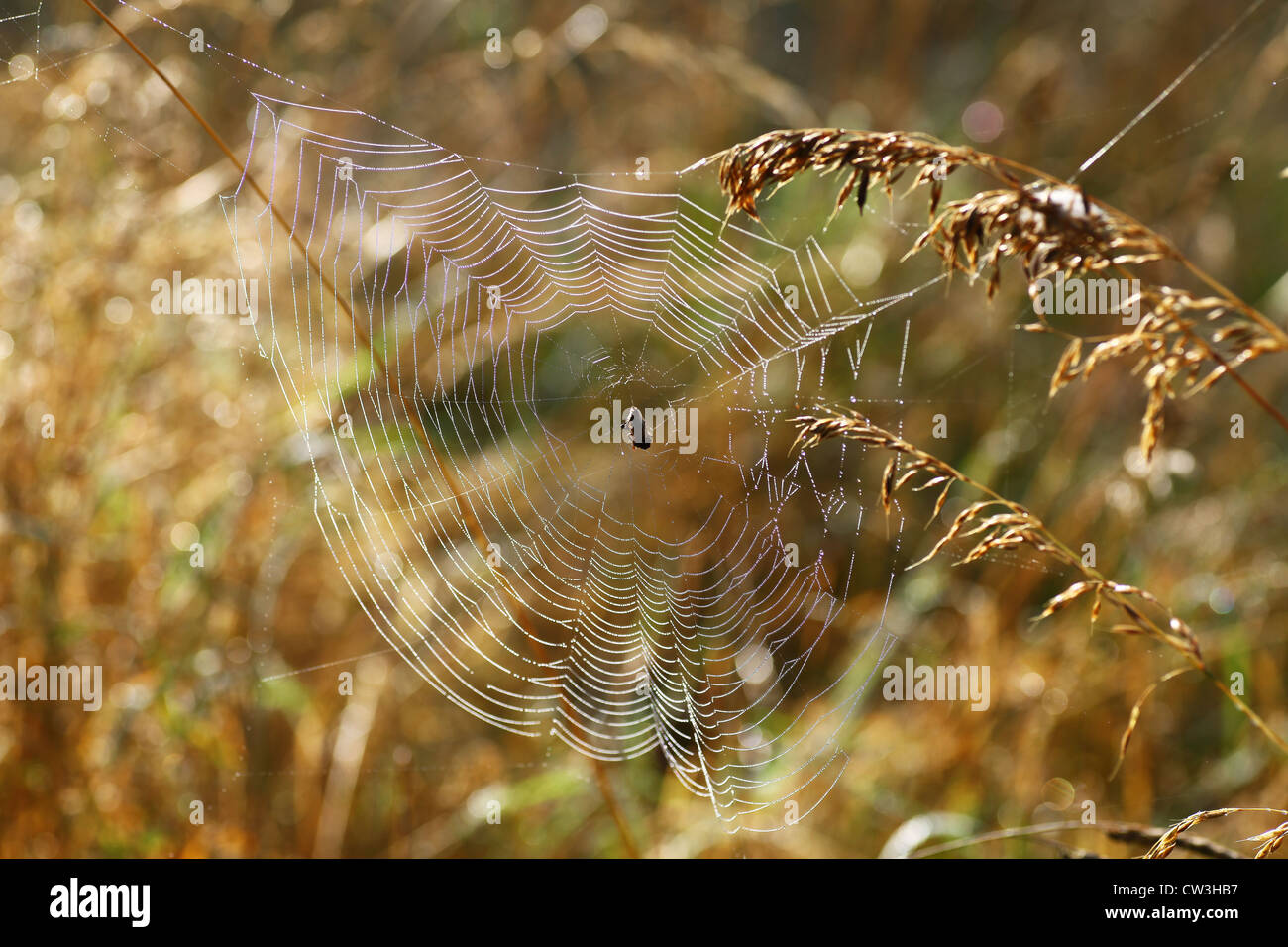 A spider in the middle of it's web on a warm summers morning with the light shining through it - Stock Image