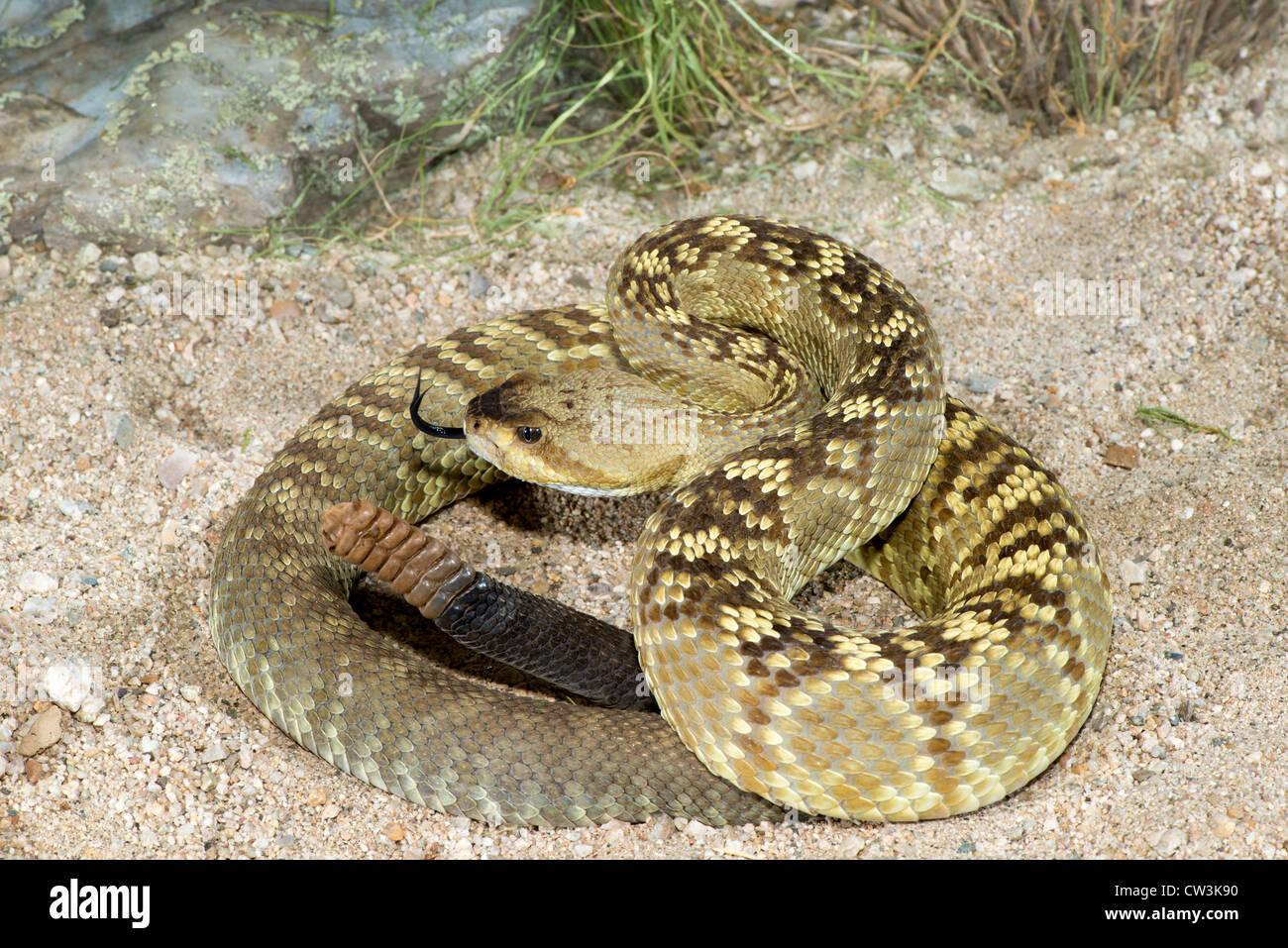 Black-tailed Rattlesnake Crotalus molossus molossus Tucson, Pinal County, Arizona, United States 12 August Adult Stock Photo
