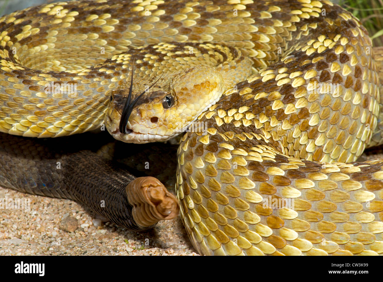 Black-tailed Rattlesnake Crotalus molossus molossus Tucson, Pinal County, Arizona, United States 12 August Adult Stock Photo