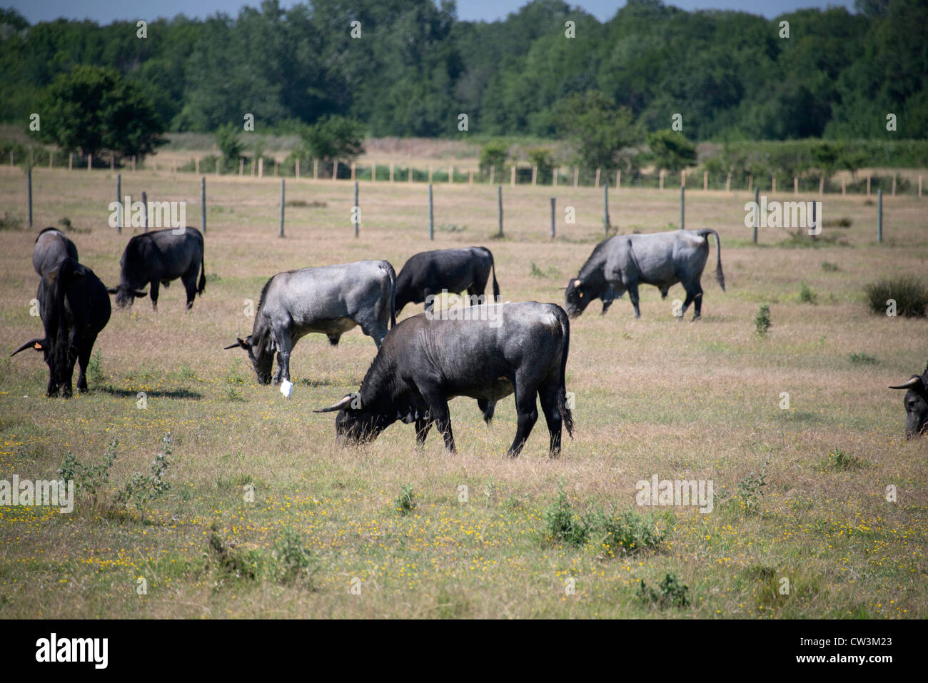 Bulls graze in field in Camargue region of South of France Provence near Arles - Stock Image