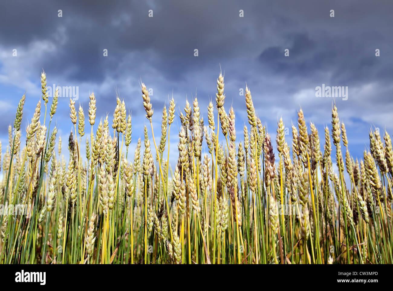 Wheat field, Manitoba, Canada - Stock Image