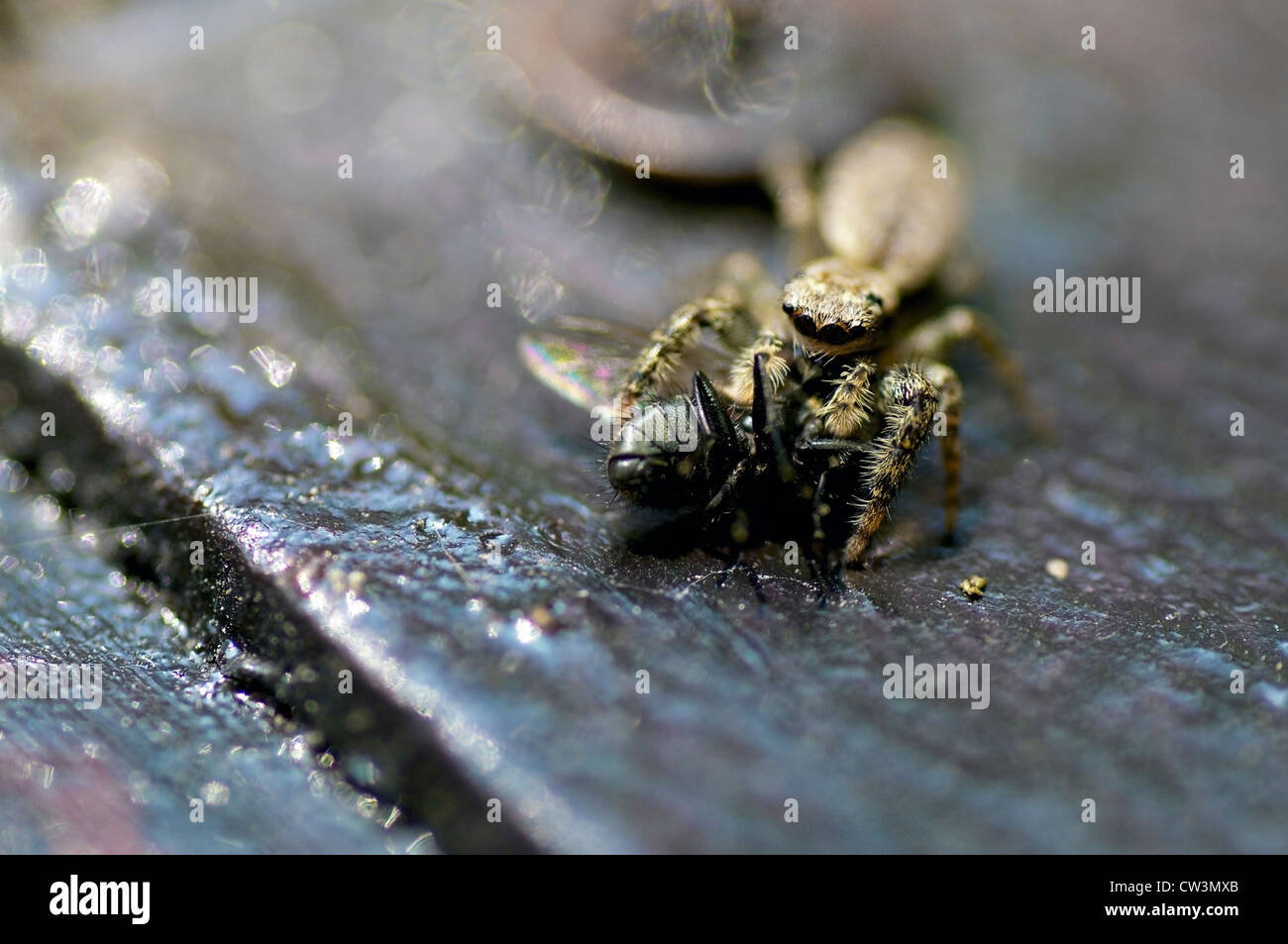 A tiny wolf spider with its prey, a blowfly it has just caught. - Stock Image