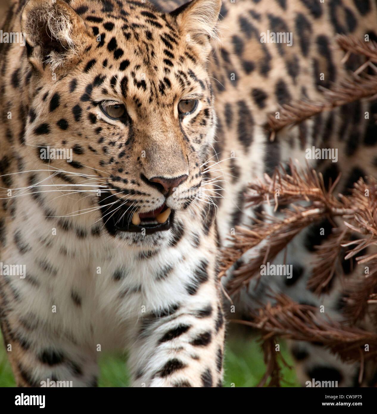 Female Amur leopard prowling - Stock Image